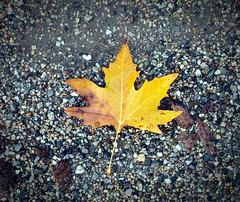 Autumn (lauracastillo5) Tags: leaf autumn autumncolors autumnvibes beautiful winter grey background tree orange yellow