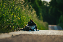 tarmac relaxation (robert.lindholm87) Tags: canon 1d 1dmarkiv 1dseries sigma sport sigmasport animal animals nature cat cats pet pets furr road bokeh blur background 150mm telephoto sweden summer june green grass tarmac asphalt