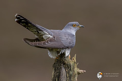 Cuckoo (Simon Stobart) Tags: cuckoo cuculus canorus perched north east england uk