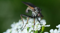 X-T2 2019-06-03 073 (linebrell) Tags: vivitar55mmf28 macro closeup flash insect