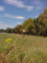 Spider's Day 04-06-2019 (4) (Guest0835) Tags: spider macro ragno ragnatela