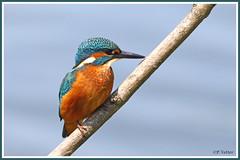 Martin-pêcheur 190604-05-P (paul.vetter) Tags: oiseau ornithologie ornithology faune animal bird martinpêcheur alcedoatthis eisvogel kingfisher