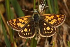 Chequered Skipper, Glasdrum Woods NNR (Rowan Castle) Tags: img5294 butterfly chequeredskipper glasdrum uk unitedkingdom macro canon 5dmkiii lepidoptera