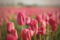 One Above (Beve Brown-Clark) Tags: pinkimpression pink tulip tulips flower florals skagitvalley spring springtime bevebrownclark washington usa