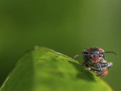 World of Insects (Maximilian Busl) Tags: nature macro insects animals wildlife beetle sigma d850 green