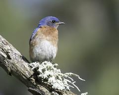 eastern bluebird (material guy) Tags: easternbluebird mondaybirding quabbin massachusetts