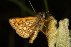 Chequered Skipper Butterfly, Glasdrum Woods (Rowan Castle) Tags: img5354 uk butterfly lepidoptera glasdrum unitedkingdom macro canon 5dmkiii chequeredskipper