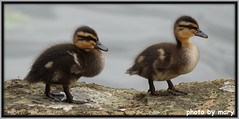 Mallard ducklings (maryimackins) Tags: mallards ducklings spring wildlife kent mary mackins
