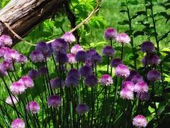 Deep Spring Moment (Robert Cowlishaw (Mertonian)) Tags: mertonian purplehighlights deepgreen robertcowlishaw lunchstroll kneeling parasophia canon powershot sx70hs canonpowershotsx70hs flowers grass spring2019 ineffable awe wonder beauty beautiful