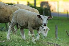 Agneau du Cantal (Cyril Ribault) Tags: pentax kr tamron tamronaf18200mmf3563xrdiiildasphericalif agneau brebis animal élevage ferme paysan eleveur nature mouton bovidé ovin laine cantal massifcental aurillac sheep lamb farm