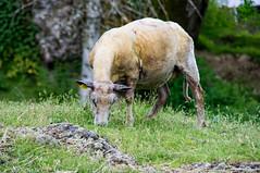 Brebis du Cantal (Cyril Ribault) Tags: pentax kr tamron tamronaf18200mmf3563xrdiiildasphericalif agneau brebis animal élevage ferme paysan eleveur nature mouton bovidé ovin laine cantal massifcental aurillac sheep lamb farm