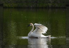 <^> Trumpeter Wing Action <^> (Wolverine09J ~ 1.9 Million Views) Tags: frameit~level01 trumpeterswan waterfowl avianwildlife wingflapping swimming uppermississippi nature springtime minnesota naturespoetry~level1 heartawards naturesgallery autofocuslevel01 magiceye autofocuslevel02 thebeautyofnature feathersbeaks batslair autofocuslevel03 waterreflection autofocuslevel04 thegalaxystars1 autofocuslevel05 wildlifeaward thegalaxystars2 autofocuslevel06 autofocuslevel07 autofocuslevel08 thelightpainterssociety autofocuslevel09