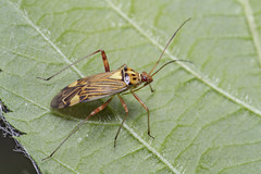 _IMG9974 Striped Oak Bug - Calocoris striatellus (Pete.L .Hawkins Photography) Tags: striped oak bug calocoris striatellus petehawkins petelhawkinsphotography petelhawkins petehawkinsphotography 150mm irix macro pentaxpictures pentaxk1 petehawkinsphotographycom f28 11 fantasticnature fabulousnature incrediblenature naturephoto wildlifephoto wildlifephotographer naturesfinest unusualcreature naturewatcher insect invertebrate 6legs compound eyes creepy crawly uglybug bugeyes fly wings eye veins flyingbug flying beetle shell elytra ground