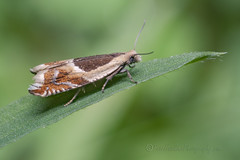_IMG9946  Micromoth - Ancylis sp (Pete.L .Hawkins Photography) Tags: petehawkins petelhawkinsphotography petelhawkins petehawkinsphotography 150mm irix macro pentaxpictures pentaxk1 petehawkinsphotographycom f28 11 fantasticnature fabulousnature incrediblenature naturephoto wildlifephoto wildlifephotographer naturesfinest unusualcreature naturewatcher insect invertebrate bug 6legs compound eyes creepy crawly uglybug bugeyes fly wings eye veins flyingbug flying beetle shell elytra ground