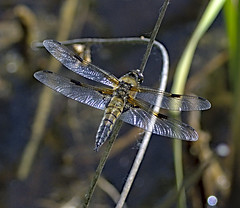 Four Spotted Chaser 8 3 June 2019 (Tim Harris1) Tags: nikond7100 nikkor80400afs sculthorpemoor insect animal norfolk fourspottedchaser dragonfly