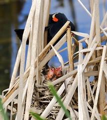 Hungry Birds (joanne clifford) Tags: redwingedblackbird babies chicks redwingedblackbirdbabies andrewhaydonpark ottawa birds wildlife nature nepean blackbird
