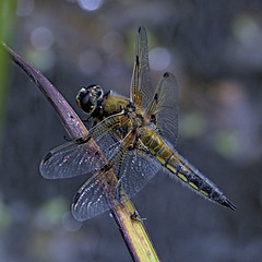 Four Spotted Chaser 15 3 June 2019 (Tim Harris1) Tags: nikond7100 nikkor80400afs sculthorpemoor insect animal norfolk fourspottedchaser