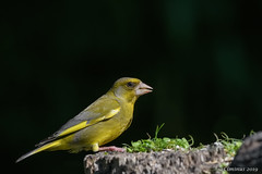Verdone comune (M). (Ciminus) Tags: naturesubjects chlorischloris ornitology nature ciminus verdonecomune verdone ciminodelbufalo afsnikkor300mmf28gedvrii greenfinch uccelli garden oiseaux nikond500 aves ornitologia birds wildlife