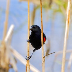 Red-winged Blackbird (joanne clifford) Tags: redwingedblackbird andrewhaydonpark ottawa ontario birds nature wildlife nepean blackbird