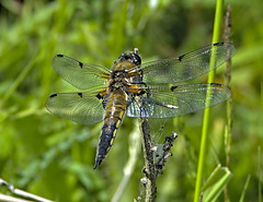 Four Spotted Chaser 4 3 June 2019 (Tim Harris1) Tags: nikond7100 nikkor80400afs sculthorpemoor insect animal norfolk fourspottedchaser dragonfly