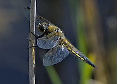 Four Spotted Chaser 6 3 June 2019 (Tim Harris1) Tags: nikond7100 nikkor80400afs sculthorpemoor insect animal norfolk fourspottedchaser dragonfly