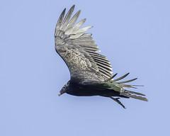 turkey vulture (material guy) Tags: turkeyvulture mondaybirding quabbin massachusetts