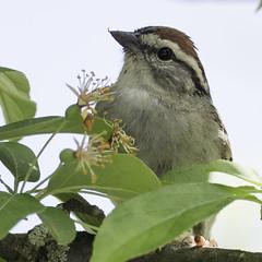 chipping sparrow (material guy) Tags: chippingsparrow mondaybirding quabbin massachusetts