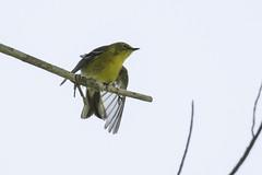 pine warbler (material guy) Tags: pinewarbler mondaybirding quabbin massachusetts