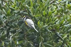Golden-winged Warbler (male) (christopheradler) Tags: california goldenwinged warbler vermivora chrysoptera