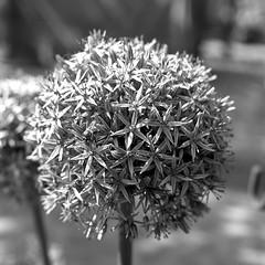 Allium (salparadise666) Tags: rolleiflex sl66 planar 80mm fomapan 100 boxspeed caffenol rs nils volkmer 6x6 square slr medium format analogue film camera flower closeup monochrome black white