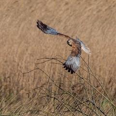 Marsh Harrier (kc02photos) Tags: marshharrier circusaeruginosus minsmere suffolk england uk birdphotography