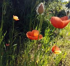 Poppies (claudine6677) Tags: mohnblume mohn mohnblüte poppy poppies garden garten