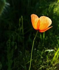 Poppy (claudine6677) Tags: mohnblume mohn mohnblüte poppy poppies garden garten