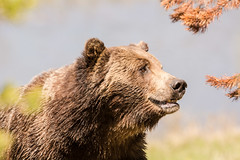 The handsome one (ChicagoBob46) Tags: grizz grizzly grizzlybear bear boar yellowstone yellowstonenationalpark nature wildlife naturethroughthelens ngc coth5 npc