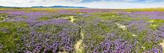 Phacelia Ocean (Ron Rothbart) Tags: california carrizoplain phacelia flowers iphone iphoneography mountains panorama wildflowers