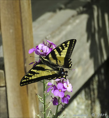 Swallowtail on wallflower