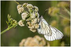 Accouplement de gazés, les piérides de l'aubépine (Didier.Delavaud Photographies) Tags: gazé pontdarmes accouplement papillon saintmolf loireatlantique france piéride