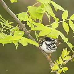 Paruline rayée  / Blackpoll Warbler (alainmaire71) Tags: oiseau bird parulidae parulidés dendroicastriata parulinerayée blackpollwarbler paruline warbler nature quebec canada