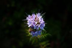 DSC_1641_ME-20190531 (pioytre) Tags: flower nature plant phacelia facelia