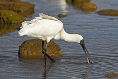Royal Spoonbill (bevanwalker) Tags: nkon d750 300mmf28tc17e11 lens royalspoonbill bird estuary animal water fresh sea time evening rocks photography outdoor nature wildlife feeding bill white feathers native moment cropped camera pattern outside happy 2019 newzealand smile image paradise