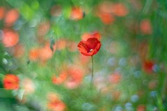 _DSC6502 (kymarto) Tags: bokeh bokehlicious bokehphotography dof depthoffield flowers flowerphotography nature naturephotography beauty beautiful sony sonyphotography sonya7r2 oldlens vintagelens floral poppy