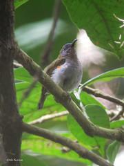 Ursula's Sunbird Cinnyris ursulae (nik.borrow) Tags: bird sunbird cameroon