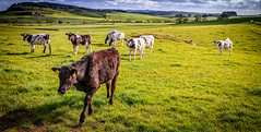 The Welcome Comittee (Rob Sutherland) Tags: cows cattle bullocks bovine agriculture farm farming field dumfries galloway kirkgunzeon scotland scottish uk britain british rural traditional countryside country