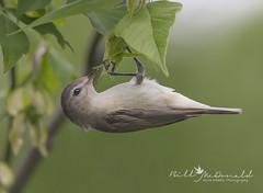 Warbling Vireo (Bill McDonald 2016) Tags: billmcdonald wildlifephotography hanging hangingupsidedown leaf leaves ontario canada eastern warblingvireo cute canon