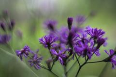 Asters in Leu Gardens (nrparsons) Tags: flower garden purple leugardens orlando sony a6000 konica hexanonar57mmf14 bokeh depthoffield closeup macro asteraceae aster