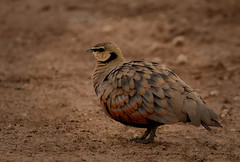 Yellow-throated Sandgrouse (male), Pterocles gutturalis (camerlin) Tags: sandgrouse birds africa kenya yellowthroatedsandgrouse africanbirds massaimara nikond500 nikon gouse