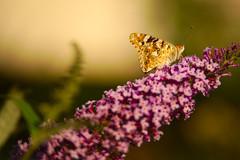 Butterfly, at sunset... (Capturedbyhunter) Tags: fernando caçador marques fajarda coruche ribatejo santarém portugal pentax k1 borboleta butterfly nature natureza bokeh dof smc fa 135mm f28
