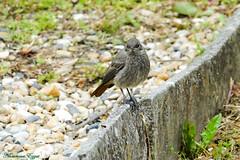 Rouge-Queue Noir (Ezzo33) Tags: france gironde nouvelleaquitaine bordeaux ezzo33 nammour ezzat sony rx10m3 parc jardin oiseau oiseaux bird birds rougequeuenoir phoenicurusochruros blackredstart