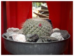 Mamilaria geminispina (Juan Xic Eseyosoyese) Tags: mammillaria mamilaria geminispina mamilas cactu cactus cactacea minimalismo biznaga macetita chica bisnaga espinas biosfera verde escena tarde mexico calor maceta planta nikon chilito piedras macro