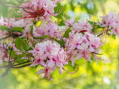 Pinxter Azalea (Shannonsong) Tags: pink pinxterflowers pinxterazaleas native spring shrub bush flowers blooms stamens rhododendron rhododendronnudiflorum